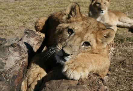 Animal Charity - Lion Cub looking at camera