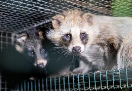 Raccoon dogs in a fur farm
