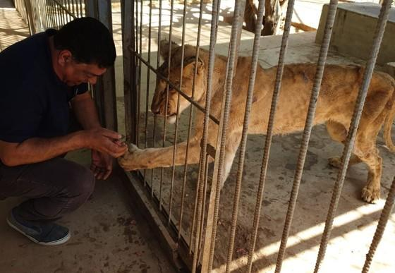 Vet Amir with starving lioness