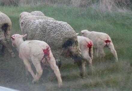 Des agneaux blessés