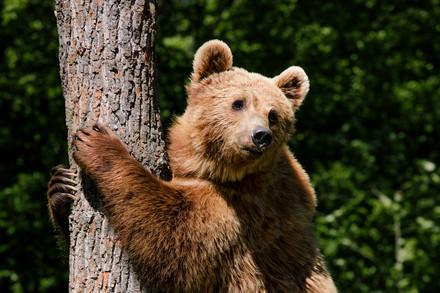 Bär auf Baum in der Ukraine