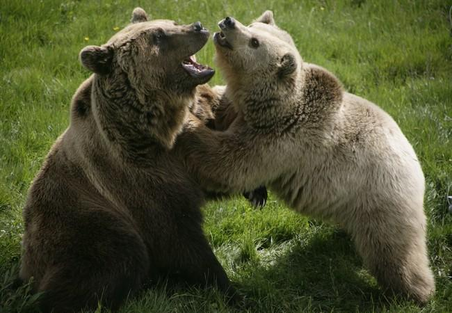 Brown bears Vini and Kassandra playing