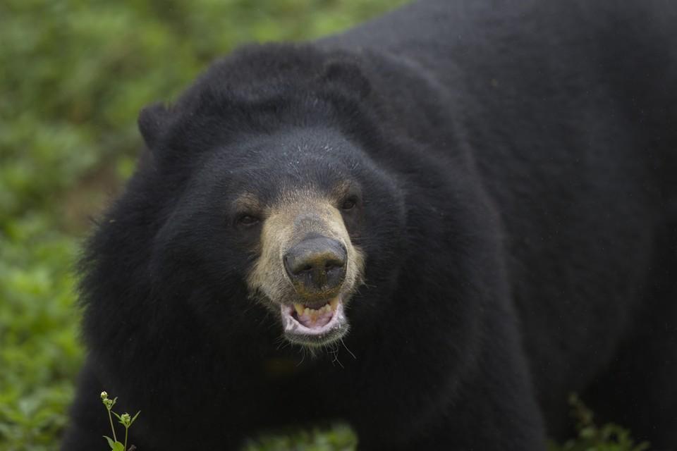 Asiatic Black Bears in Ninh Binh