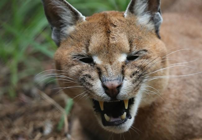 Caracal in LIONSROCK