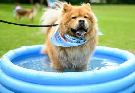 dog cooling down in pool