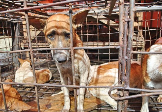 Behind bars, the dog meat trade in Borneo