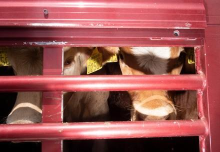 Cows in a transport vehicle
