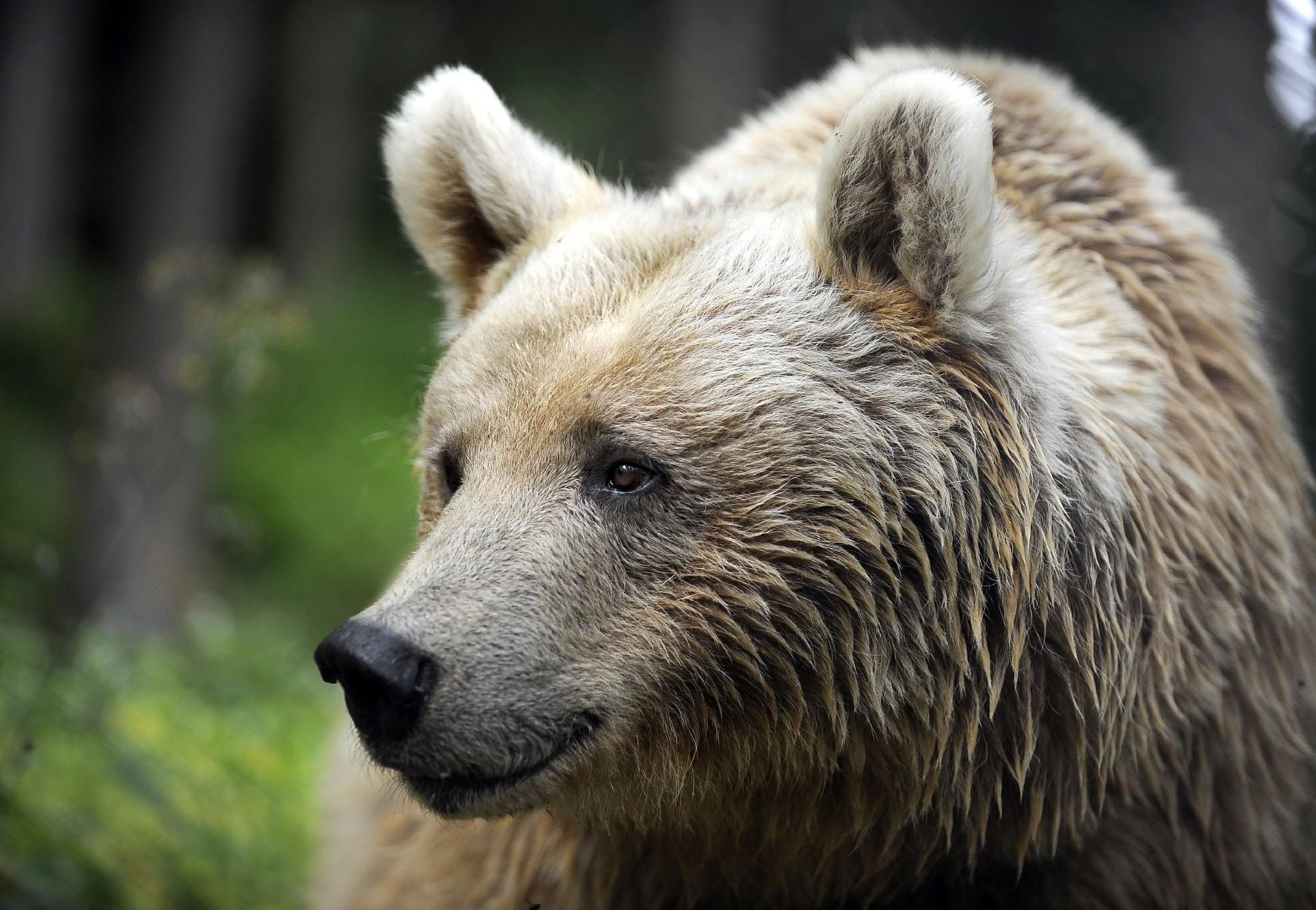 Aidez les ours à travers un parrainage