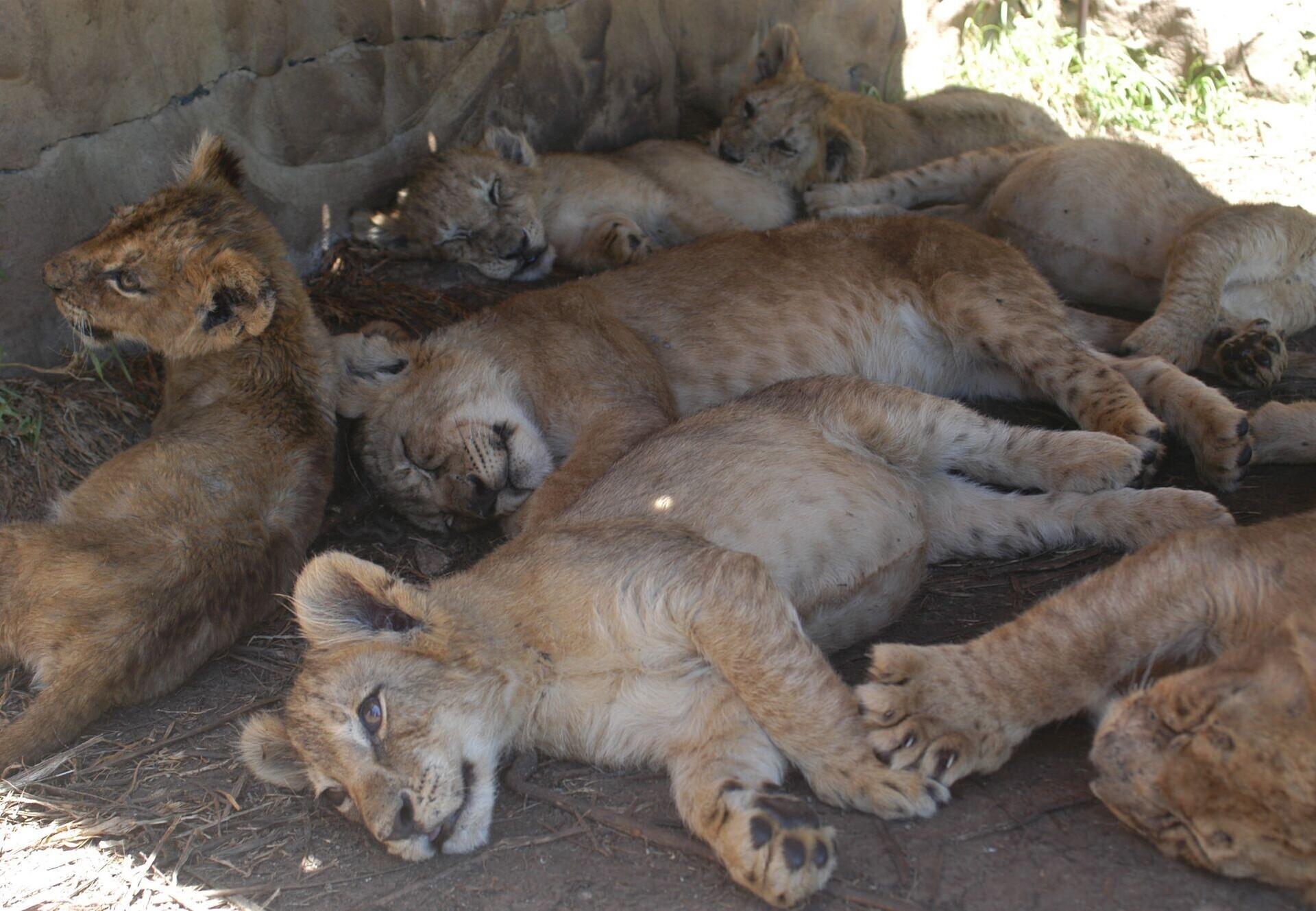Löwenbabys in Streichelzoo in Südafrika