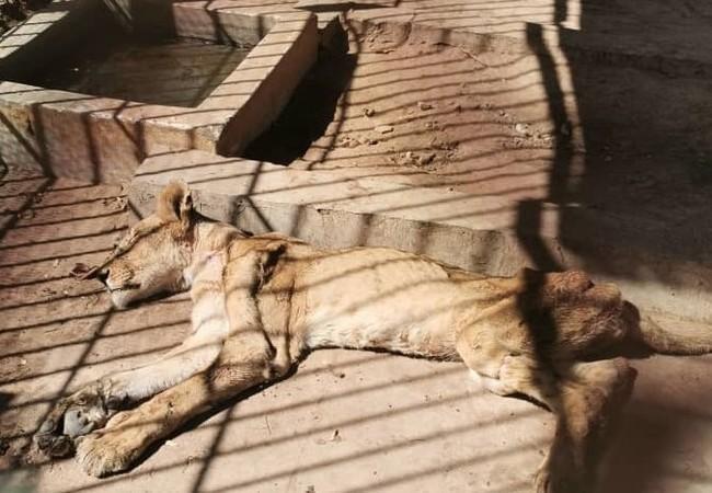 Die Löwen im Sudan