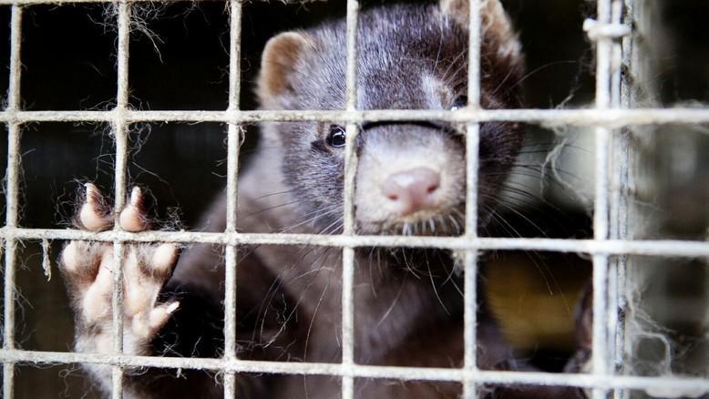 Mink at fur farm