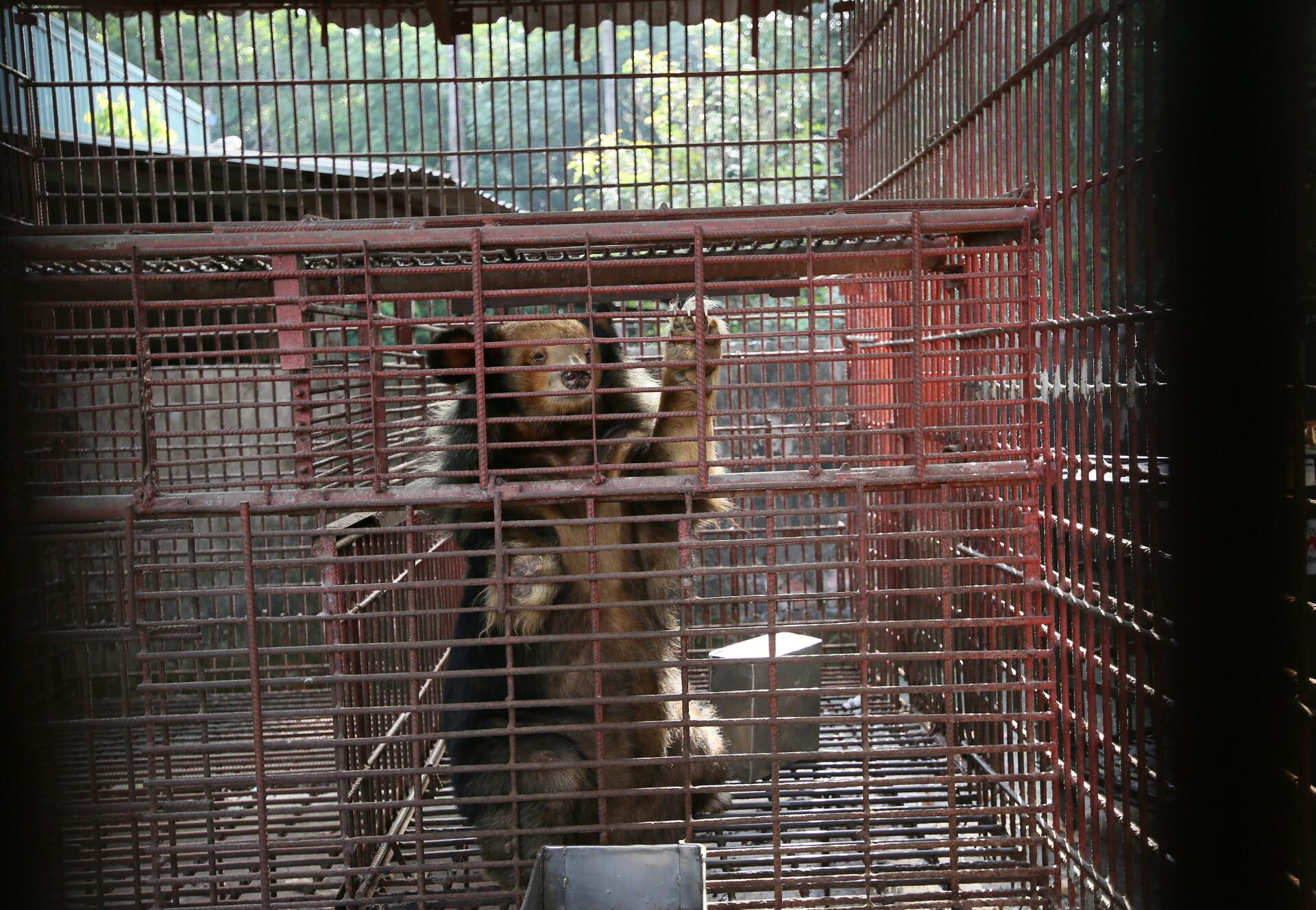 Rare golden Asiatic black bear among seven rescued bile bears in Vietnam