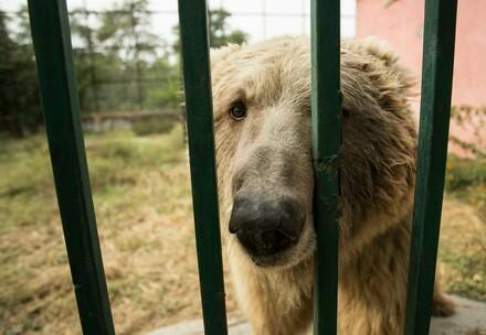 Bärin Suzie im Marghazar Zoo