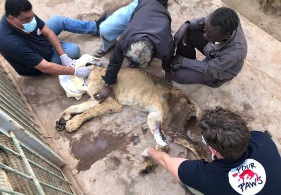 Die Löwin wird von unserem Team versorgt.