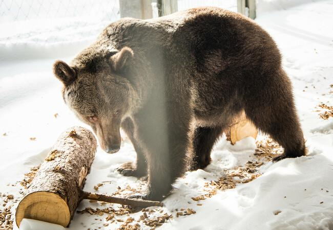 Jambolina arrives at Arosa Bear Sanctuary