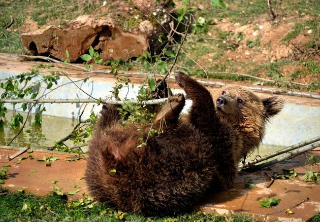 Rescued brown bear plays with branch leaves at sanctuary