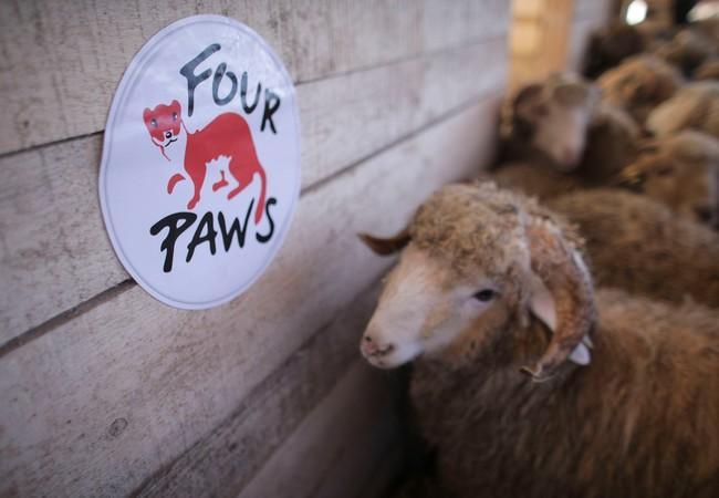 180 Schafe konnten gerettet werden, welche jetzt auf einen Bauernhof gebracht werden