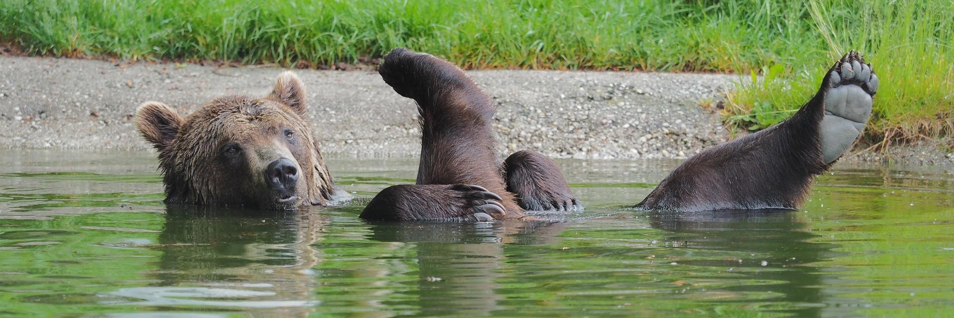 Braunbär Erich liegt entspannt im Teich und streckt die Hinterbeine aus dem Wasser.
