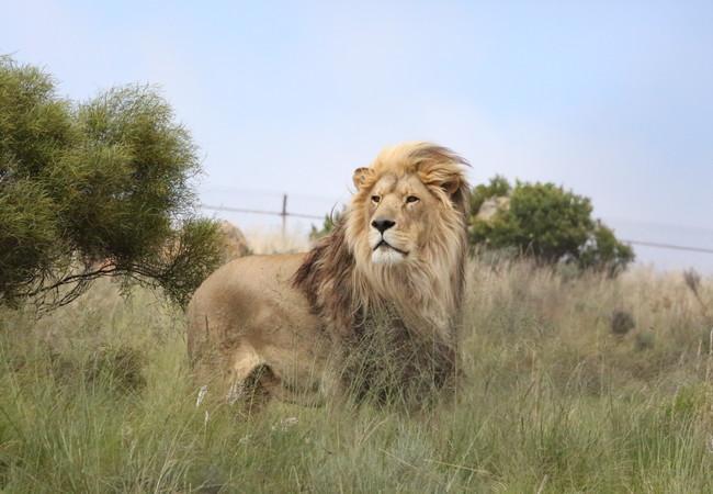 Leeuw Kimba in LIONSROCK