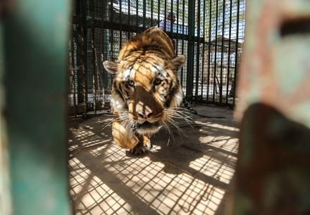 Tiger Laziz in seinem Käfig im Khan Younis Zoo von Gaza