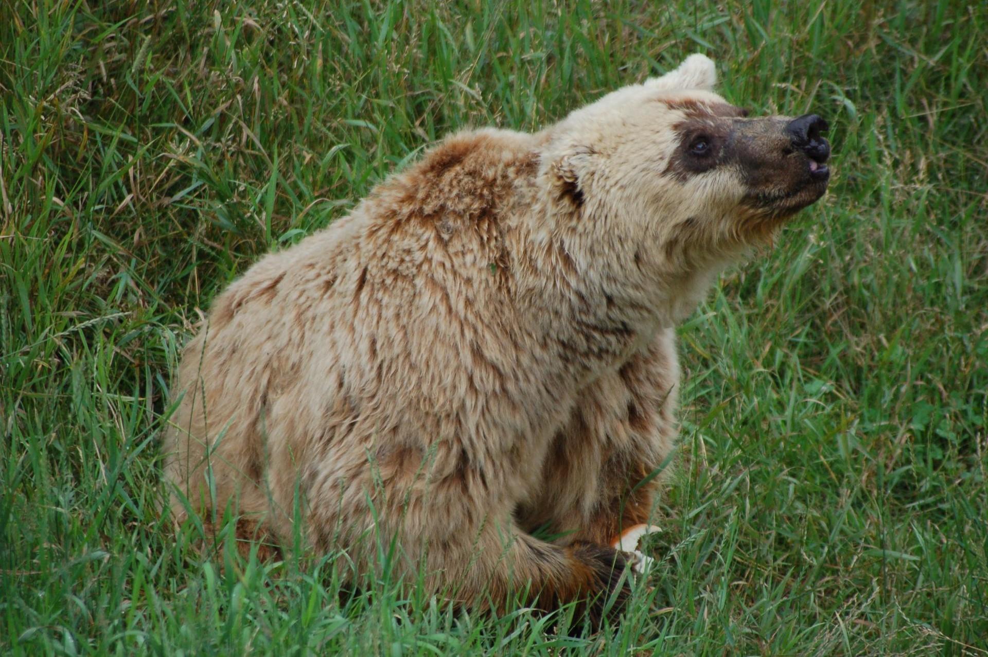 L'ourse brune Lady. M