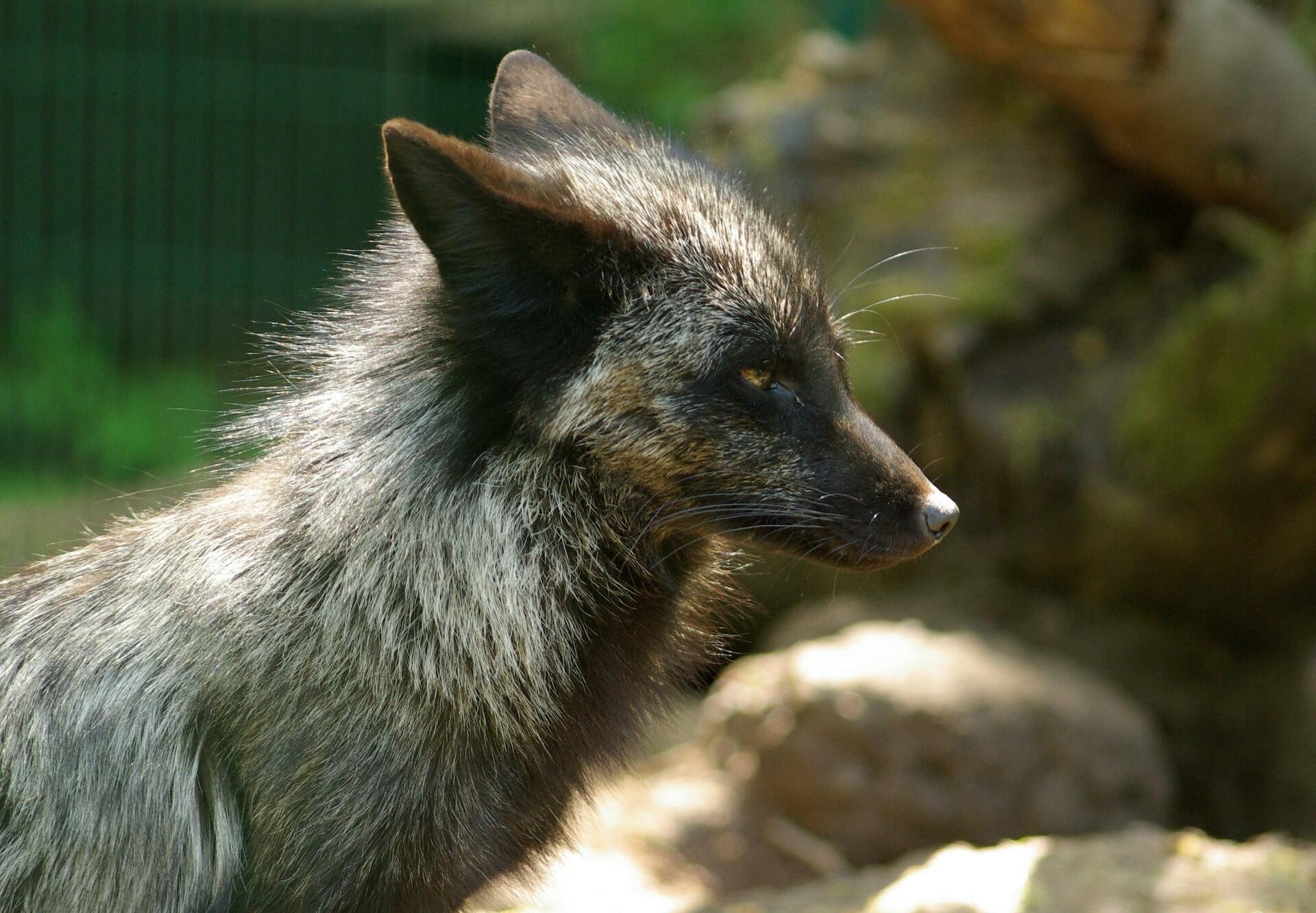 Mika the fox