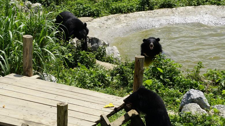 The bears in their enclosure