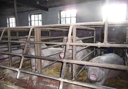 Schweine im Kastenstand