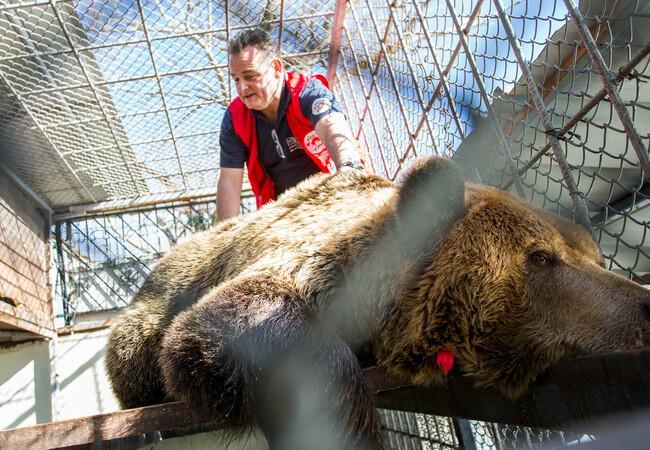 Nach der Betäubung werden die Bären untersucht und reisefertig gemacht. (c) VIER PFOTEN
