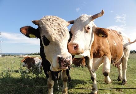 Schlachtalter Rind