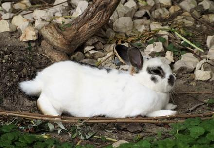 White rabbit relaxing