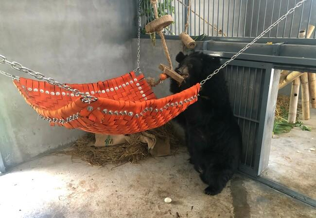 Bear Thu in the bear house in BEAR SANCTUARY Ninh Binh