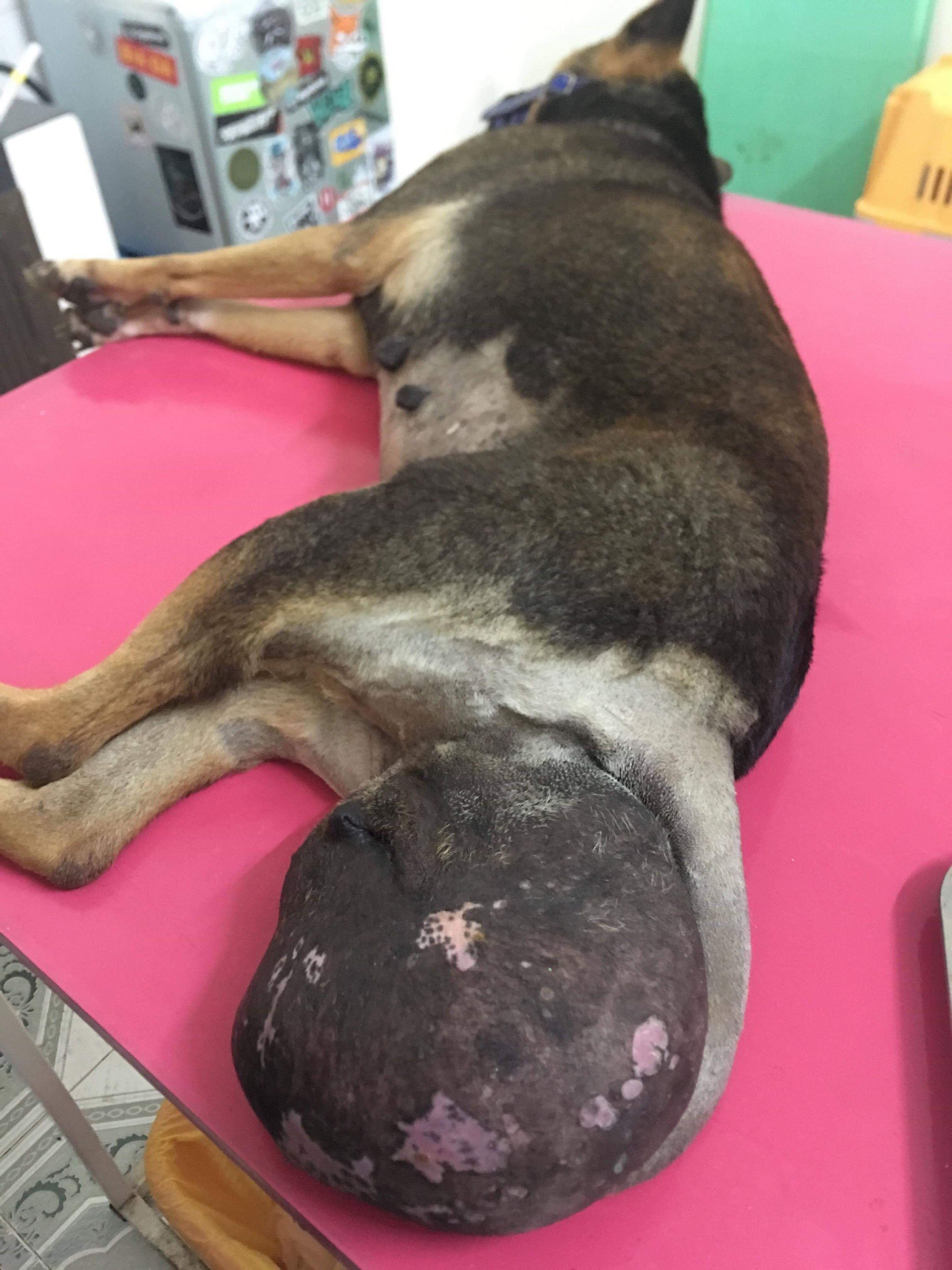 Hündin Nimo hat einen erschreckend großen Tumor. (c) VIER PFOTEN | PAWS for Compassion