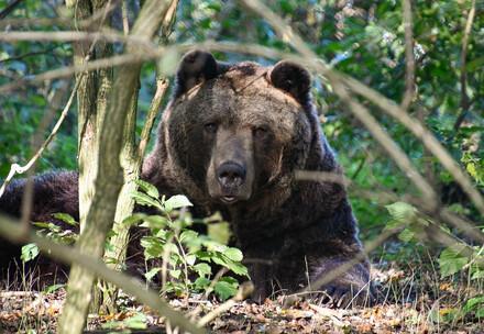 Bären-Memory