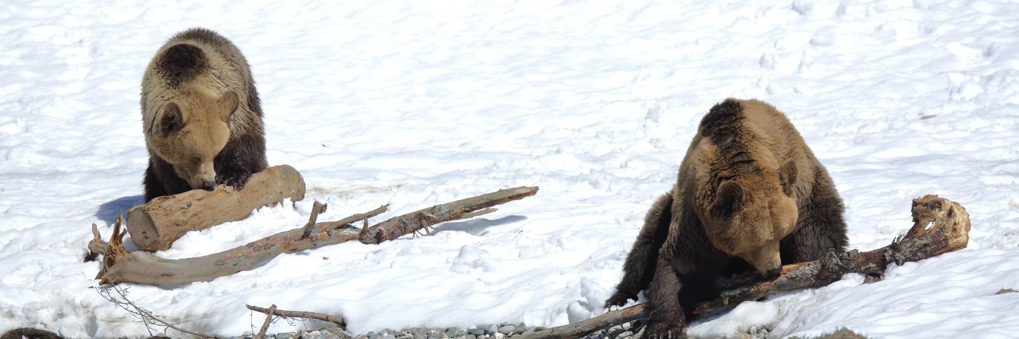 Bears in Arosa