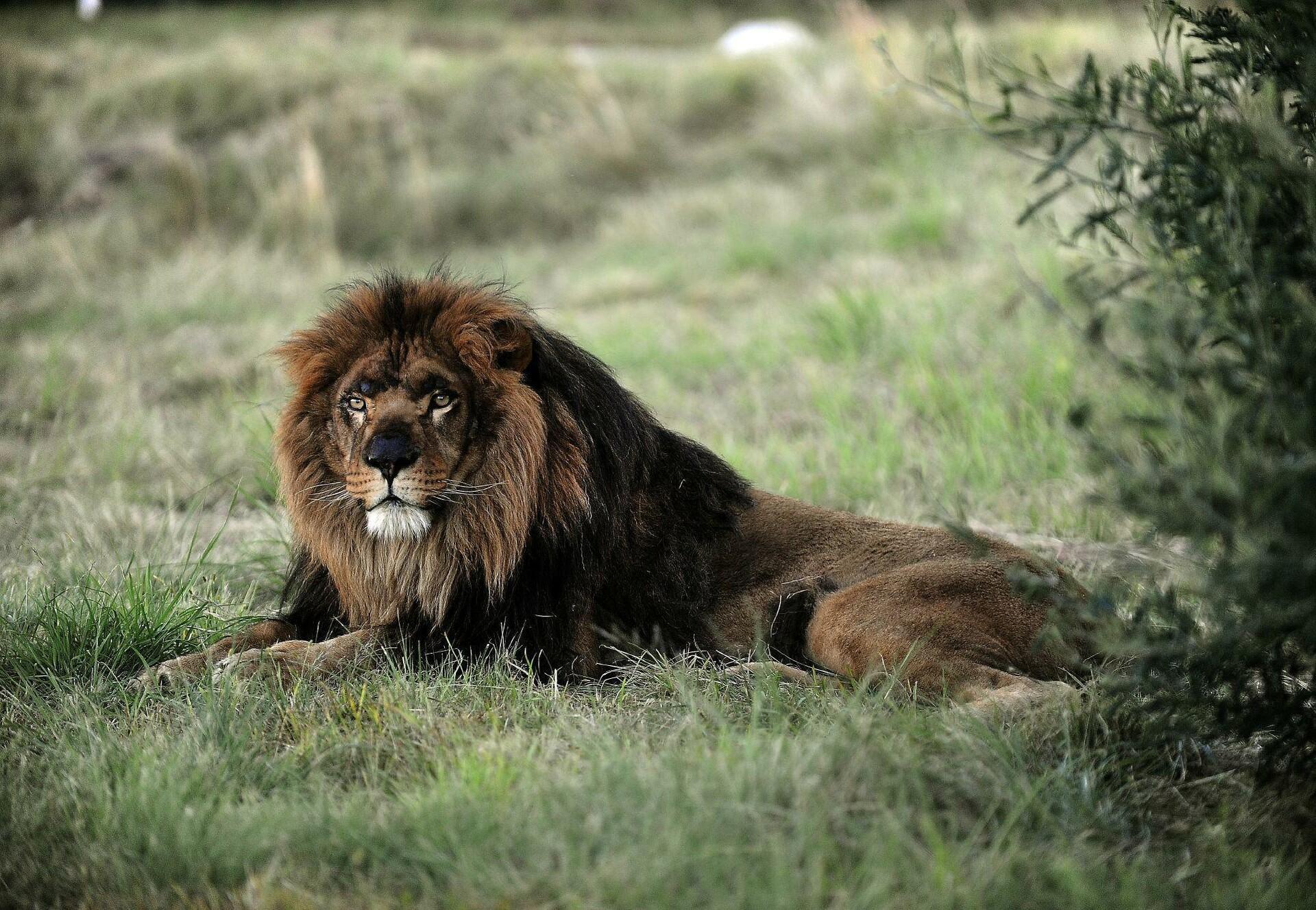 Löwe Mario genießt sein Leben in dem von VIER PFOTEN finanzierten Großkatzenrefugium LIONSROCK.