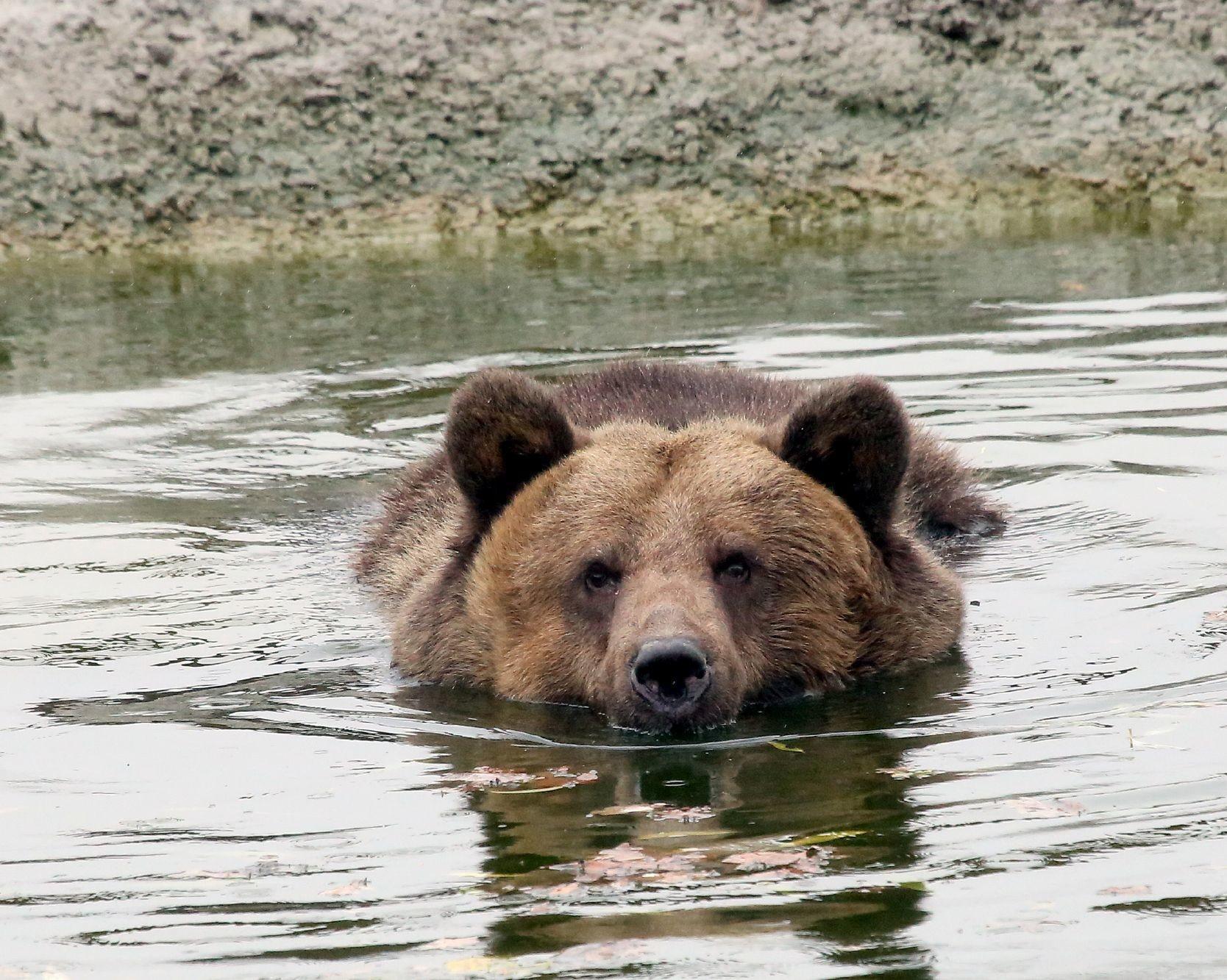 Bär schwimmt im Wasser.