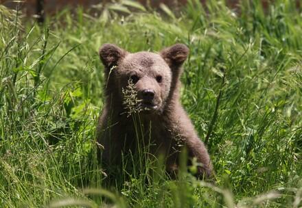 Bärenjunge nach der Freilassung im VIER PFOTEN Bärenwald (c) VIER PFOTEN | Hazir Reka