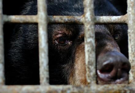 Die geretteten Bären wurden fast zwei Jahrzehnte lang in winzigen Käfigen auf zwei Bärenfarmen gehalten.