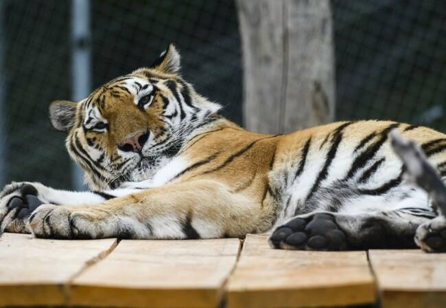 Tiger Sahib in der TIERART Wildtierstation