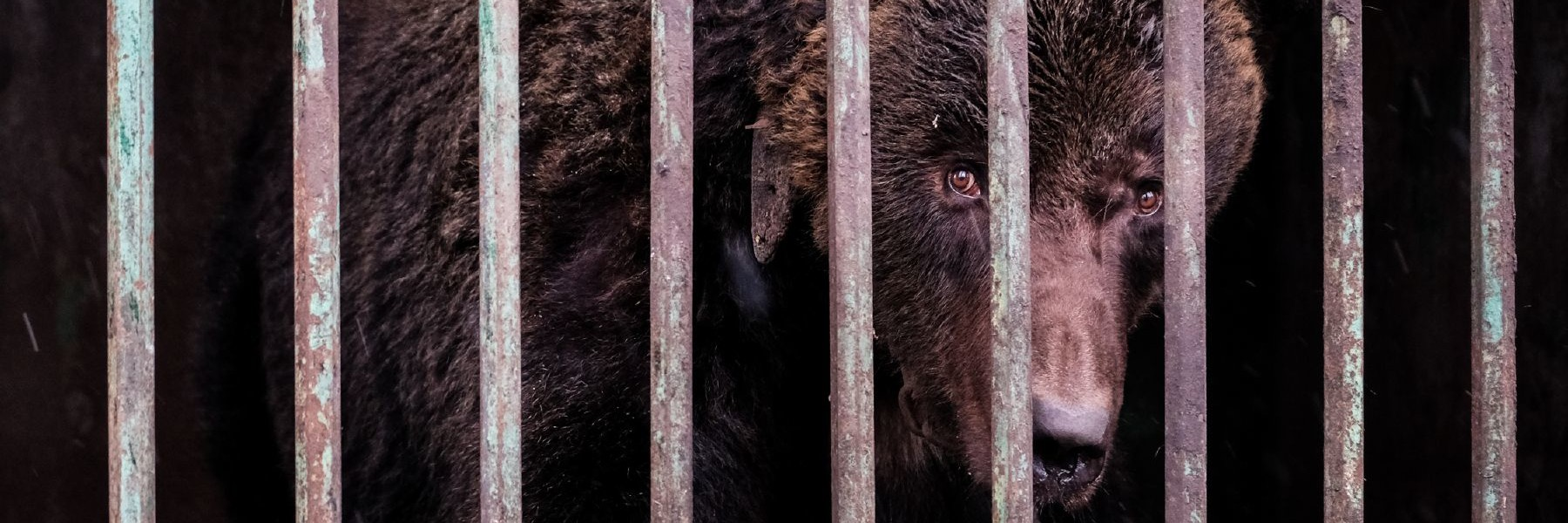 Bears in Ukraine
