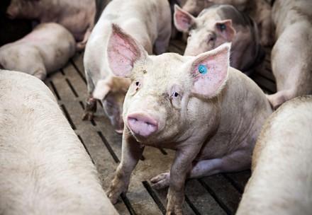 Schweine auf Vollspaltenböden