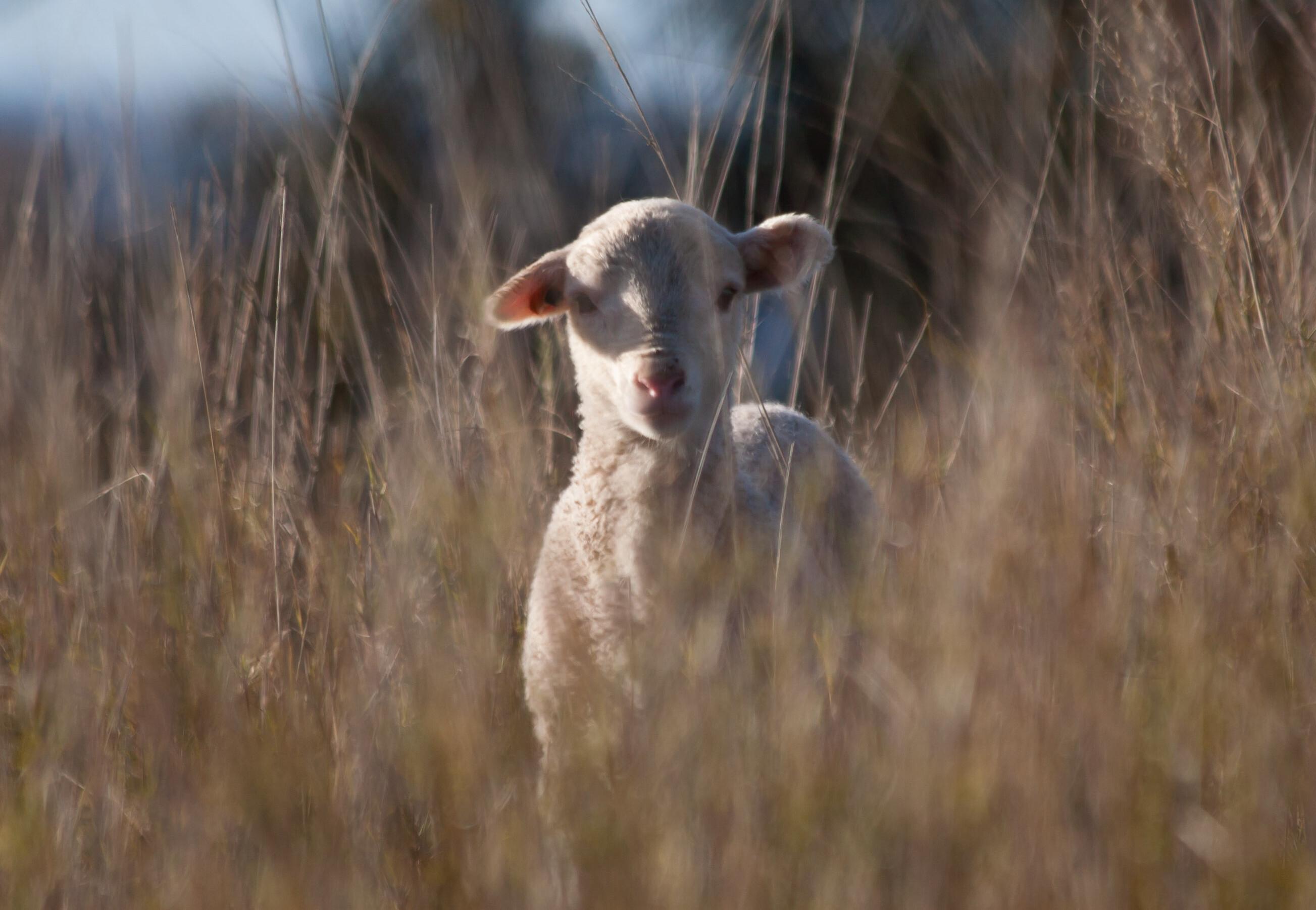 A cute Merino lamb looking at the camera