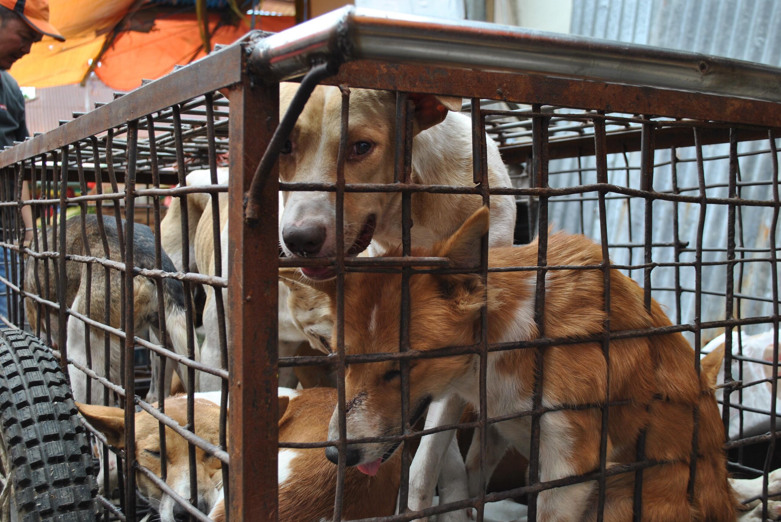 Une mort certaine attend ces chiens en Indonésie