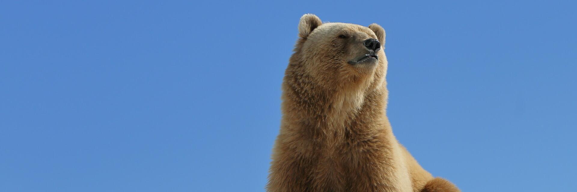 Bär Napa im Arosa Bärenpark