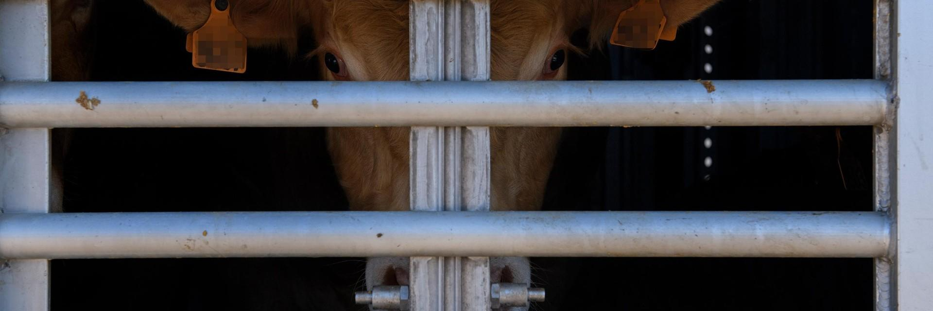 Rinder auf Tiertransport