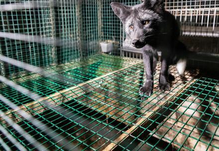 Marderhund im Käfig einer finnischen Pelzfarm.