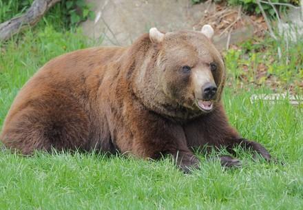 Braunbär Erich sitzt in der Wiese und frisst Gras