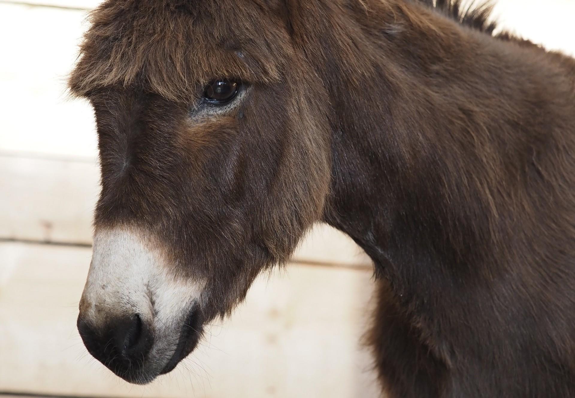 Rescue Donkey Puica