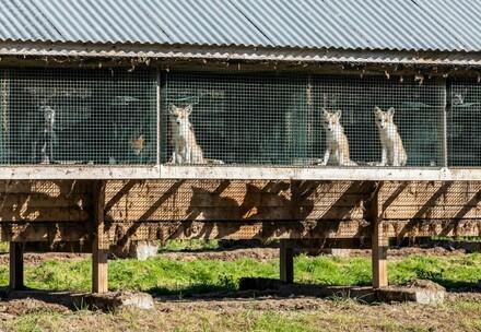 Des renards en cage